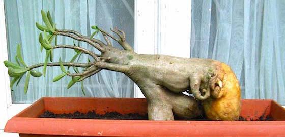adenium-pruning-2