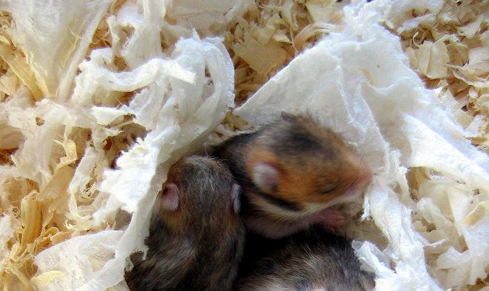 Merawat Bayi Hamster