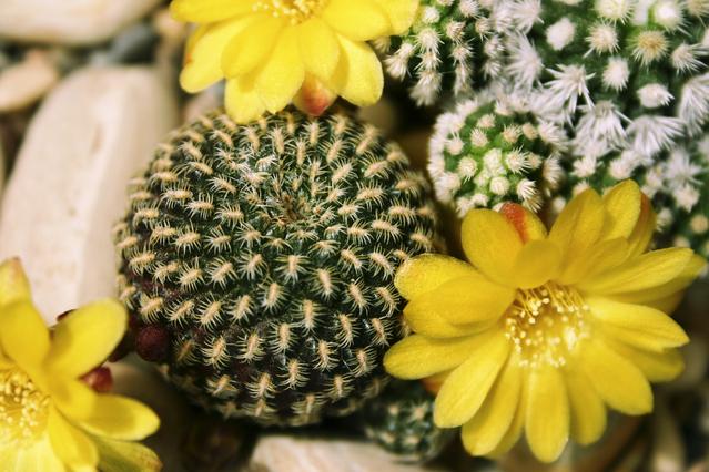 Ilustrasi Kaktus | Img:freeimages.com