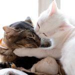 Penyebab dan Cara Mengatasi Bulu Kucing Rontok