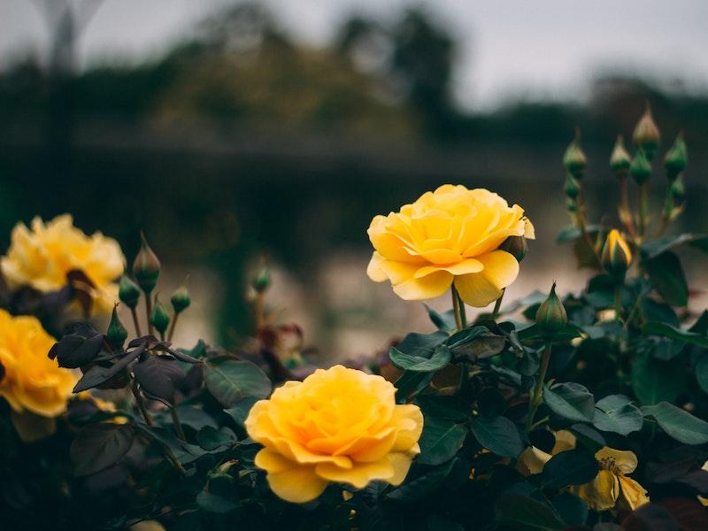 Cara Menyuburkan Mawar Agar Rajin Berbunga