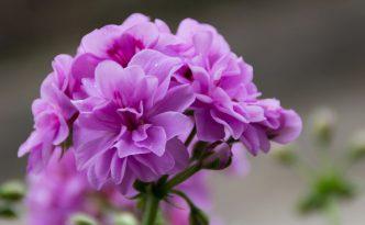 Bunga Geranium | Img:freeimages.com