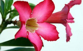 Ilustrasi Adenium | Img:freeimages.com