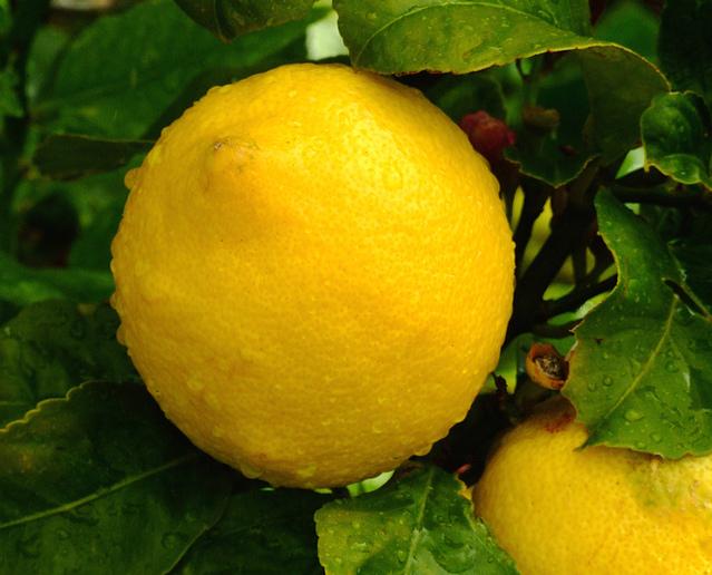 Ilustrasi Jeruk Lemon | Img:freeimages.com