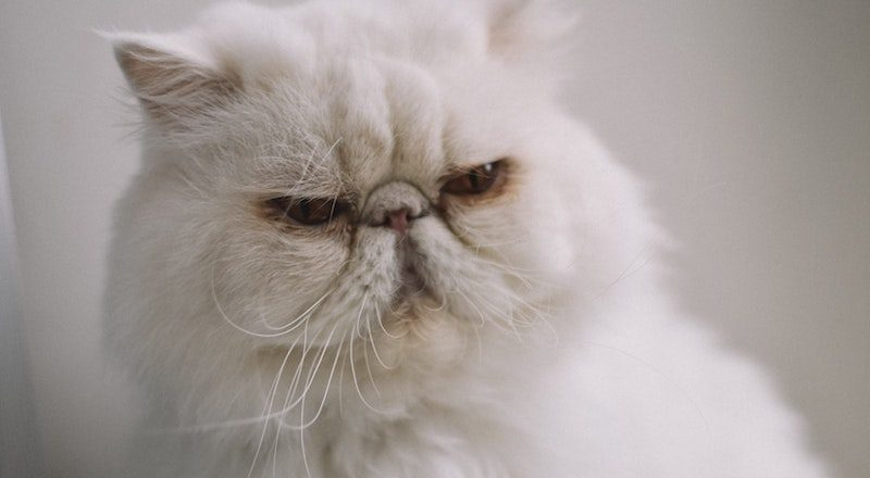Cara Merawat Kucing Persia Bagi Pemula