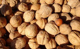 Ilustrasi Kemiri | Img:freeimages.com