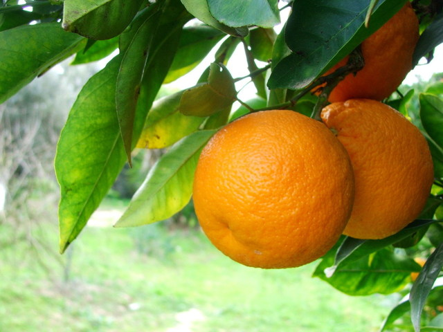 Pestisida Organik untuk Bunga dan Jeruk