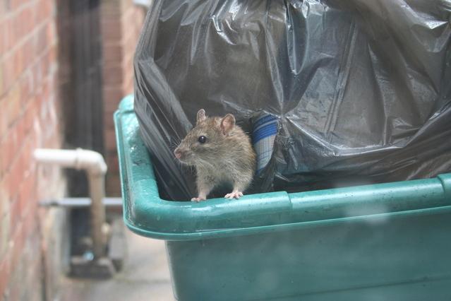 Tips Mengusir Tikus untuk yang Takut Tikus